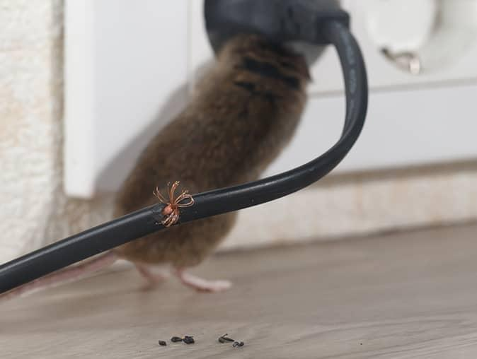 house mouse inside new jersey home chewing a wire
