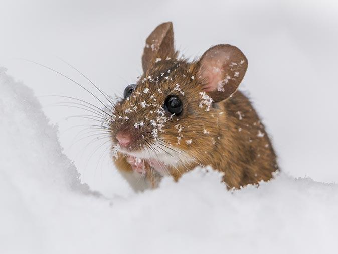 mouse in new jersey crawling across snow