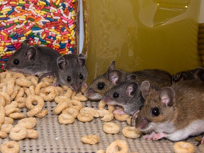 house mice in new jersey eating food in pantry