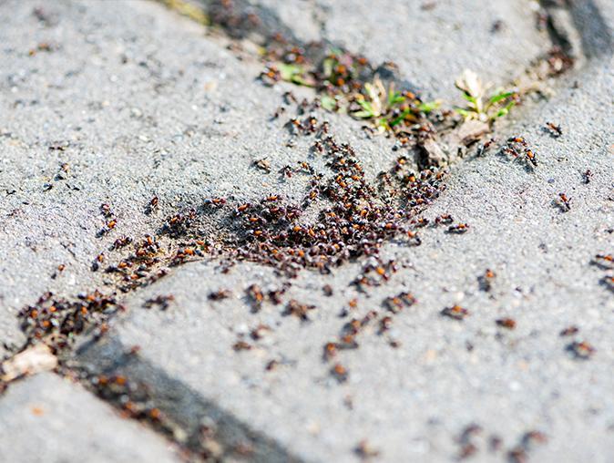 pavement ant crawling around new jersey home
