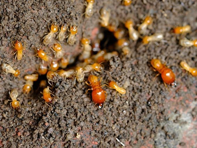 up close look at an active termite colony inside a montclair, nj home
