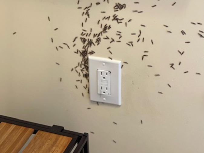termites coming out of the wall