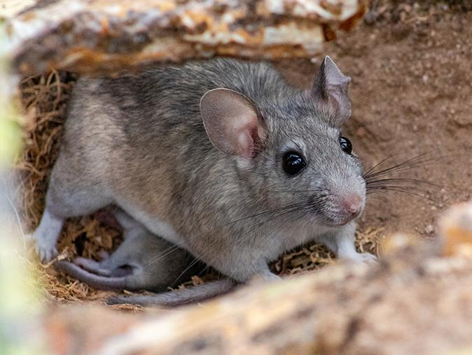 roof rats eating food from new jersey homes garbage