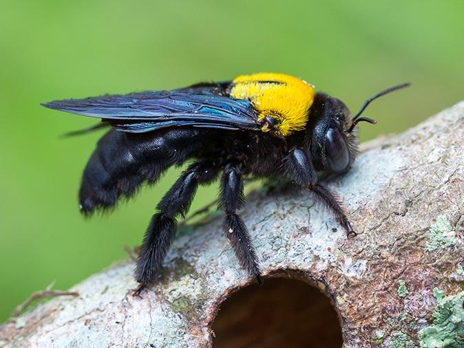 carpenter bee on a tree outside new jersey home