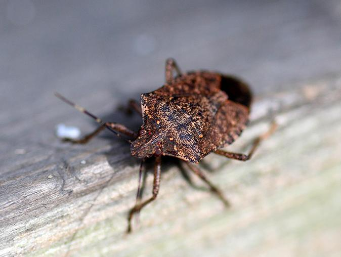 stink bug crawling on maplewood, nj home