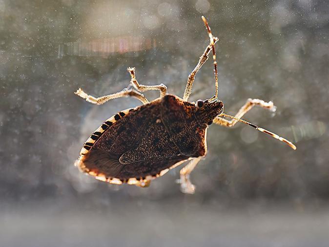 stink bug inside a new jersey home