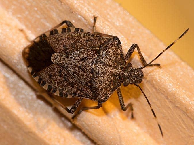 stink bug crawling on a wall