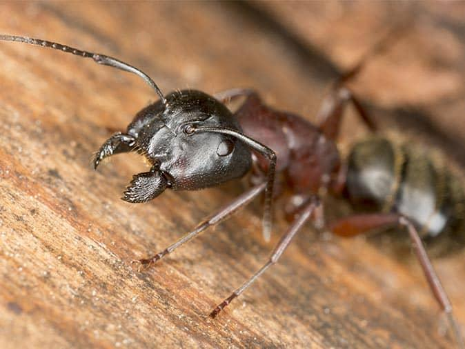 carpenter ant living inside the wall of a new jersey home