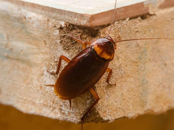 an american cockroach on a garage shelf in edison, nj