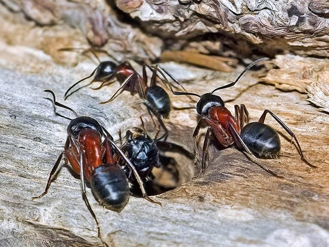 what the inside of a wall looks like when you have a carpenter ant infestation