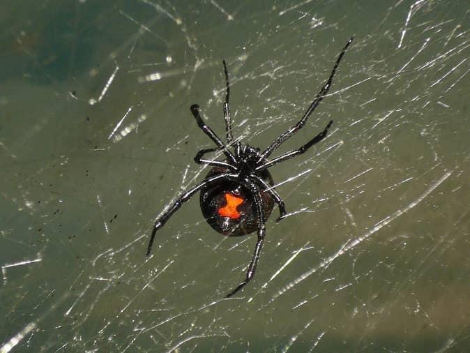 black widow spider lurking in new jersey basement