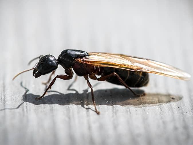 flying ant in westfield nj