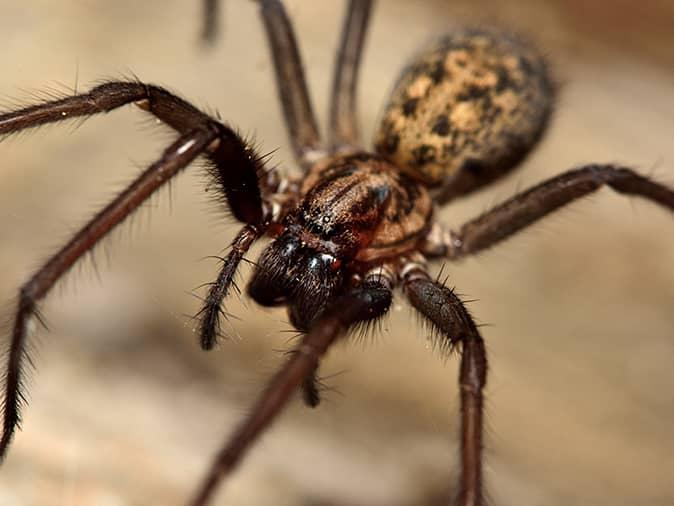 common house spider on a kitchen table in a new jersey dining room