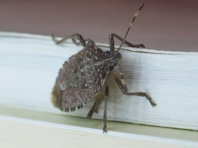 stink bug on the outside of a window looking for a way inside a new jersey home