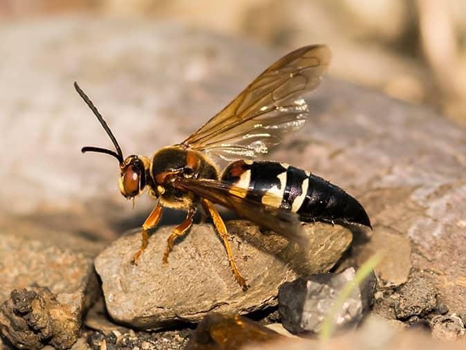 cicada killer wasp outside a sandbox where new jersey children are playing