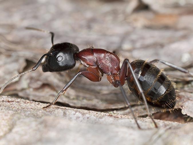 carpenter ant invading a short hills nj home