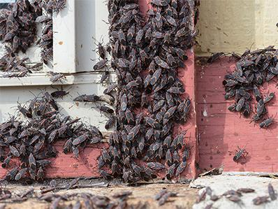 swarm of box elder bugs around a window on NJ home