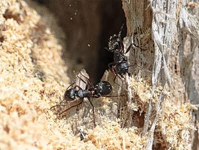 carpenter ants eating away at new jersey home