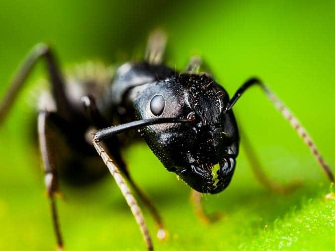 carpenter ant leading colony to new jersey home