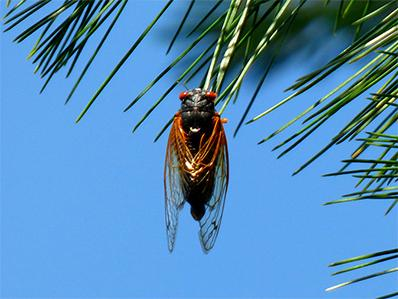 cicada on a tree outside new jersey home
