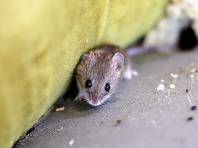 house mouse outside an nj home