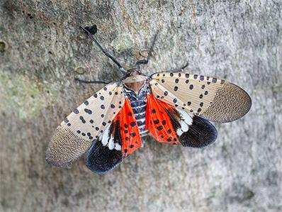 lantern fly on a tree trunk outside new jersey