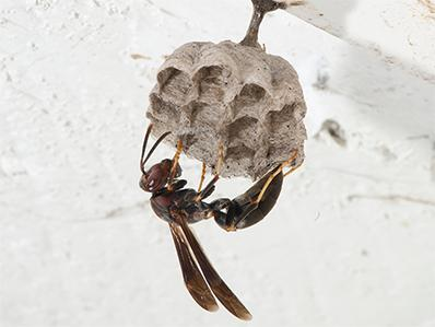 paper wasp on it's nest in the eve of a new jersey home