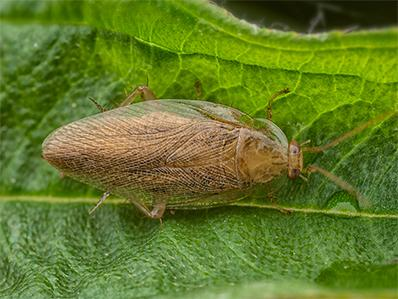 pennsylvania wood cockroach on a leaf outside new jersey home