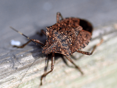 stink bug on a window looking to get inside a new jersey house