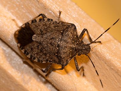 stink bug in chatham, nj