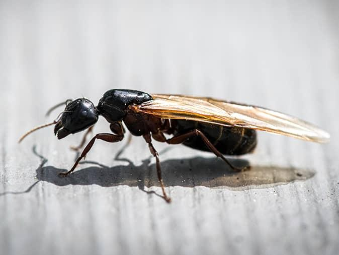 flying ant on nj porch