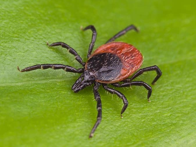 deer tick on a leaf on the edge of a new jersey property