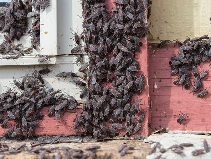 cluster of box elder bugs outside a new jersey home on a damaged window
