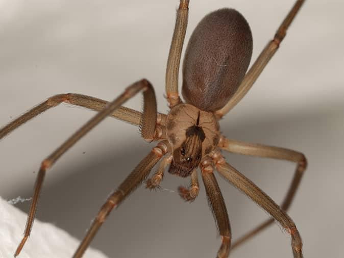 brown recluse spider inside a new jersey home