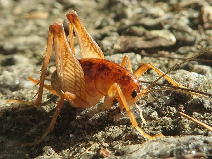 camel cricket on a new jersey driveway