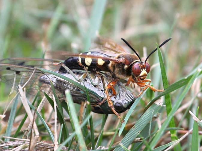 cicada killer wasps dragging cicada into its nest
