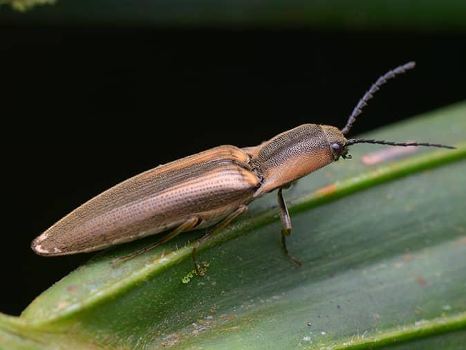 click beetle on a leaf on a house plant inside new jersey home