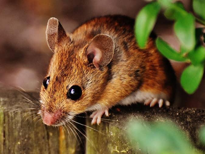 deer mouse outside new jersey garage looking for a way inside