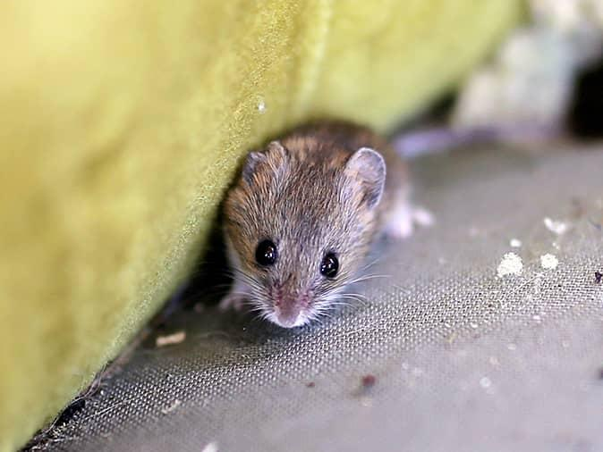 house mouse outside a new jersey home looking for an entry point inside