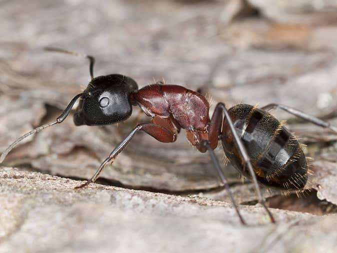 up close of a carpenter ant inside a new jersey home