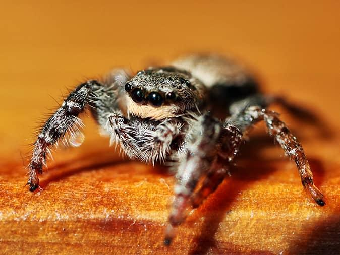 jumping spider in a new jersey living room chasing its prey