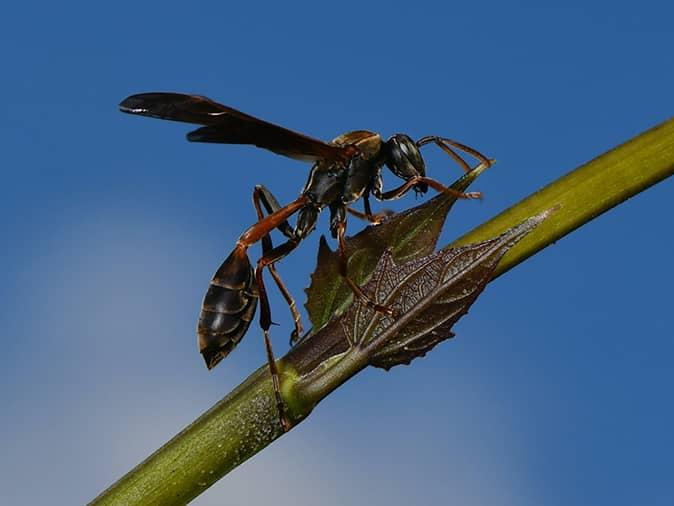 mud dauber outside a home in new jersey looking for food