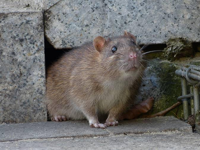 norway rat exiting from underneath a new jersey home looking for food