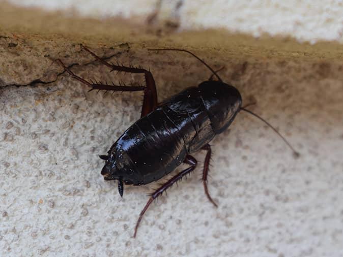 oriental cockroach in a new jersey bathroom hiding under a sink