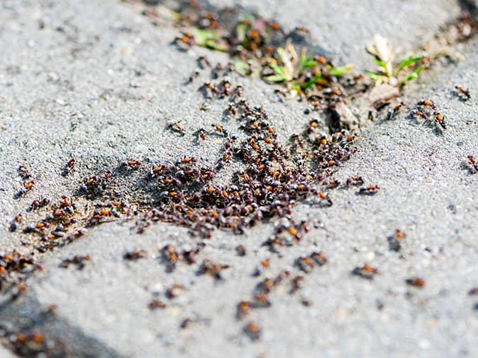 pavement ant colony under a new jersey driveway
