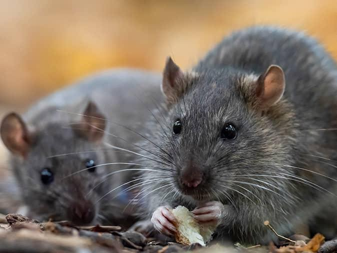 two roof rats outside of a new jersey home