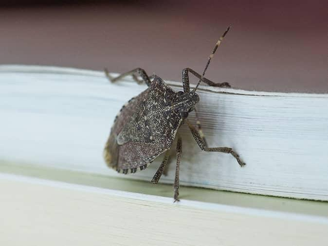 stink bug outside a new jersey home crawling through torn window screen