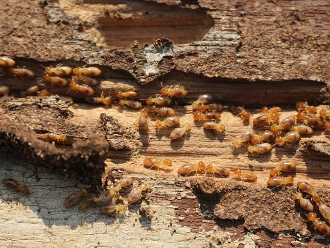 termite inspection revealing active colony of termites inside a new jersey home