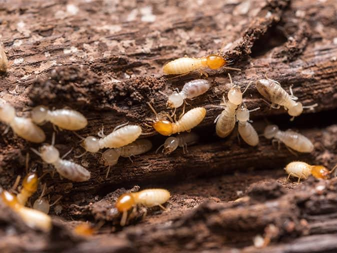 termites in their tunnels