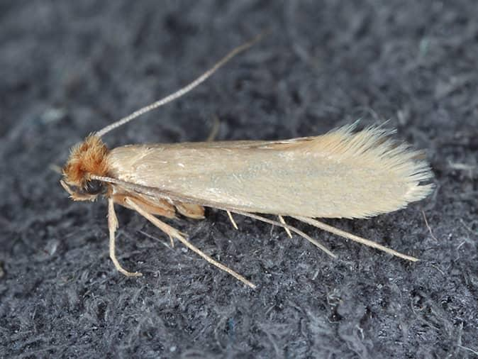 webbing cloth moth on a shirt in a new jersey closet